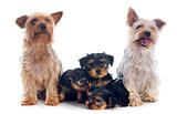 family yorkshire terrier
