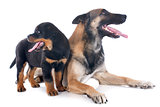 malinois and rottweiler