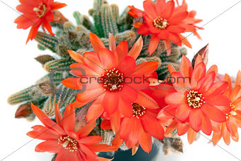 red cactus flower over white