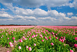 field with pink tulips and blue sky, Holland