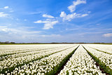 field with white tulips and blue sky