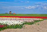 windmill and colorful tulip fields in Alkmaar