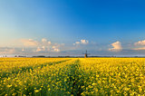 rapeseend flower field and windmill