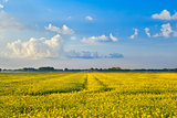 yellow canola flower field