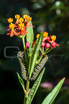 Monarch Butterfly Caterpillars