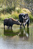 Moose Cow and Calf