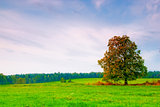 beautiful deciduous tree in a field on a background cloudy sky