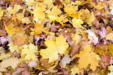 Fallen Maple Tree Leaves Background