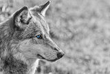 North American Gray Wolf WIth Blue Eyes