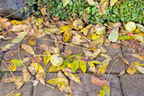Fallen Black Walnut Tree Leaves and Fruits