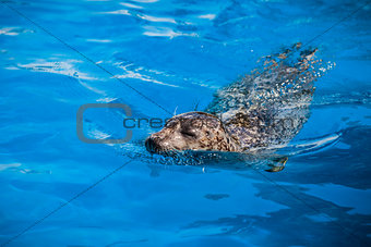 Calm Seal Swimming in the blue water