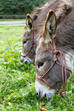 two donkeys eating grass. outdoor picture