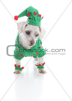 Small elf or jester puppy dog looking down at something