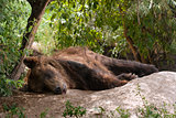 Sleeping Brown bear