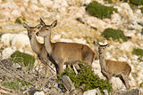 Young Red Deers