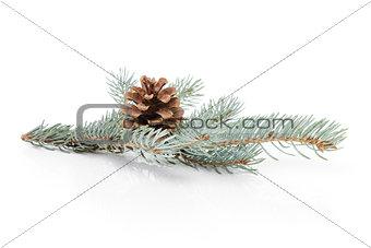 blue spruce twig with cone