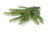 gree spruce twig