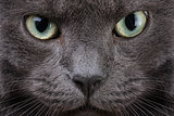 close up portrait of british cat