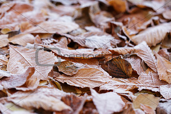 close up photo of frosty chestnut leaves