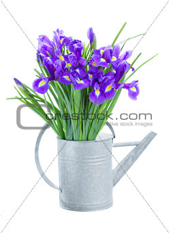 blue irise flowers in watering can