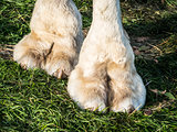 Feet of camel