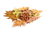dry oak leaves and acorns on white