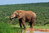 Elephant drinking water at Harpoor Dam, Addo National PARK, Sout
