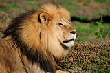 A Kalahari lion, Panthera leo, in the Addo Elephant National Par