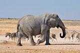 Elephant, Etosha National park, Namibia