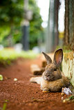 Brown rabbit relaxing