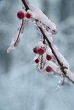 Ice on frozen red   berry