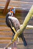 Southem Ground Hornbill