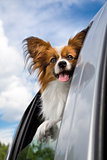 Papillon dog traveling in the car