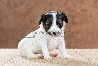 Small Papillon puppy