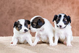 Three small Papillon puppy