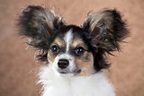 Papillon puppy close-up