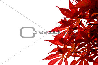 Beautiful maple leaves