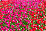 red beautiful tulips field