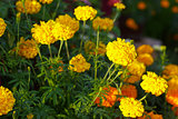 Yellow flowers of tagetis on a flowerbed