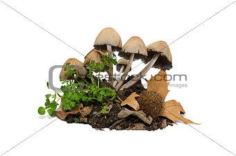 Toadstools - mushrooms