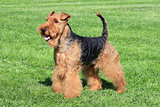 Typical Welsh Terrier in a summer garden