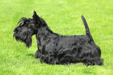 Black Scottish Terrier on a green grass lawn