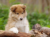 Nice Sheltie puppy smart look