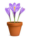 Crocuses in flowerpot vector illustration