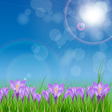 Crocuses  nature background. Vector illustration.