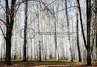 Autumn october birch grove with sunbeams and shadows