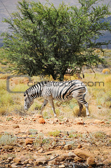 One wild zebra in Afrian bush