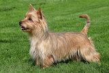 Australian Terrier on a green grass lawn