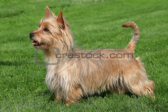 Australian Terrier on a green grass lawn
