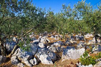 Olve tree grove in stone landscape